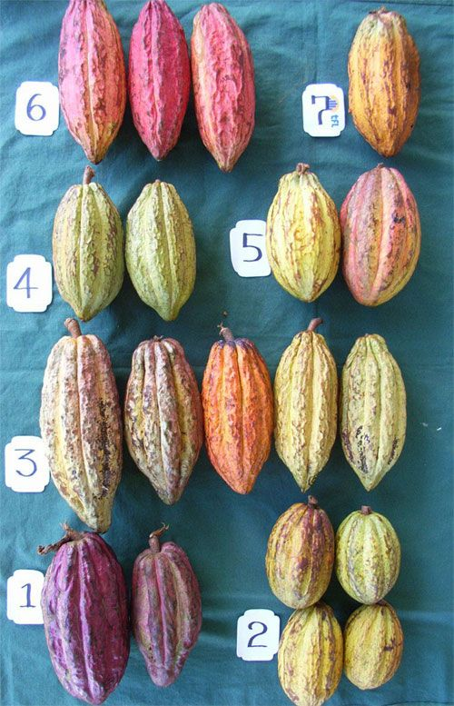 Trinitarios cacao pods from Chocolate Fiji (#1 - Amelonado ...