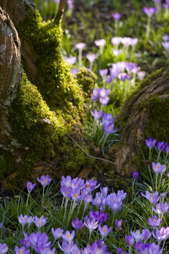 Photo by Zoë Power Follow Carpet of crocuses portait  https://flic.kr/p/4ssG4X  #beautiful #spring #crocuses