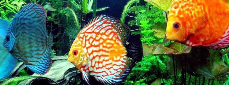 akvaariokalat - Google-haku