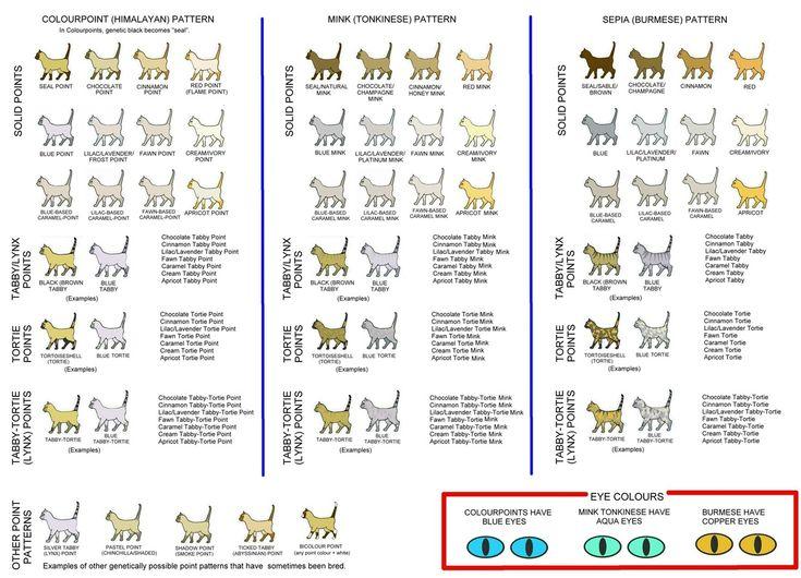 Persian cat size chart
