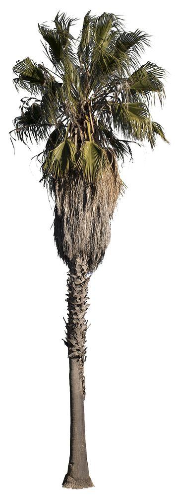 1895x5333 PNG, with transparent background.  Washingtonia robusta  Mexican fan palm tree or Mexican washingtonia. Native to western Sonora and Mexico, is naturalized in Spain, Canary islands, Italy, Hawaii, florida and California.