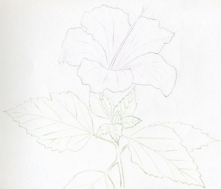 25 trending hibiscus flower drawing ideas on pinterest hibiscus draw beautiful hibiscus flowers and surprise your friends heres how ccuart Image collections