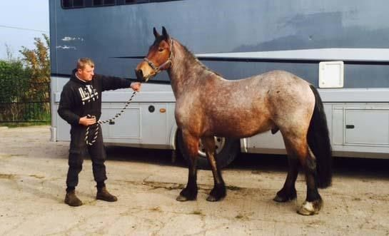 Quiet 15.2hh Strawberry Roan Friesian x Welsh Cob for sale £2,500