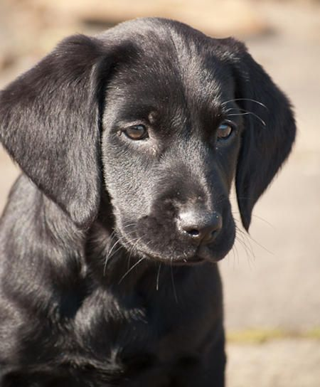Gilda the Lab mix-Sweet little girl and she has a happy life on a farm!