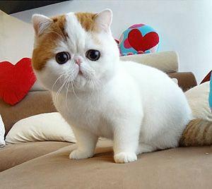 http://www.toysonlineusa.com/category/munchkin/ Munchkin cats                                                                                                                                                      More