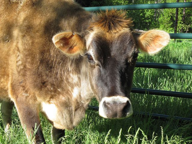 Choosing a Dairy Cow: Breeds