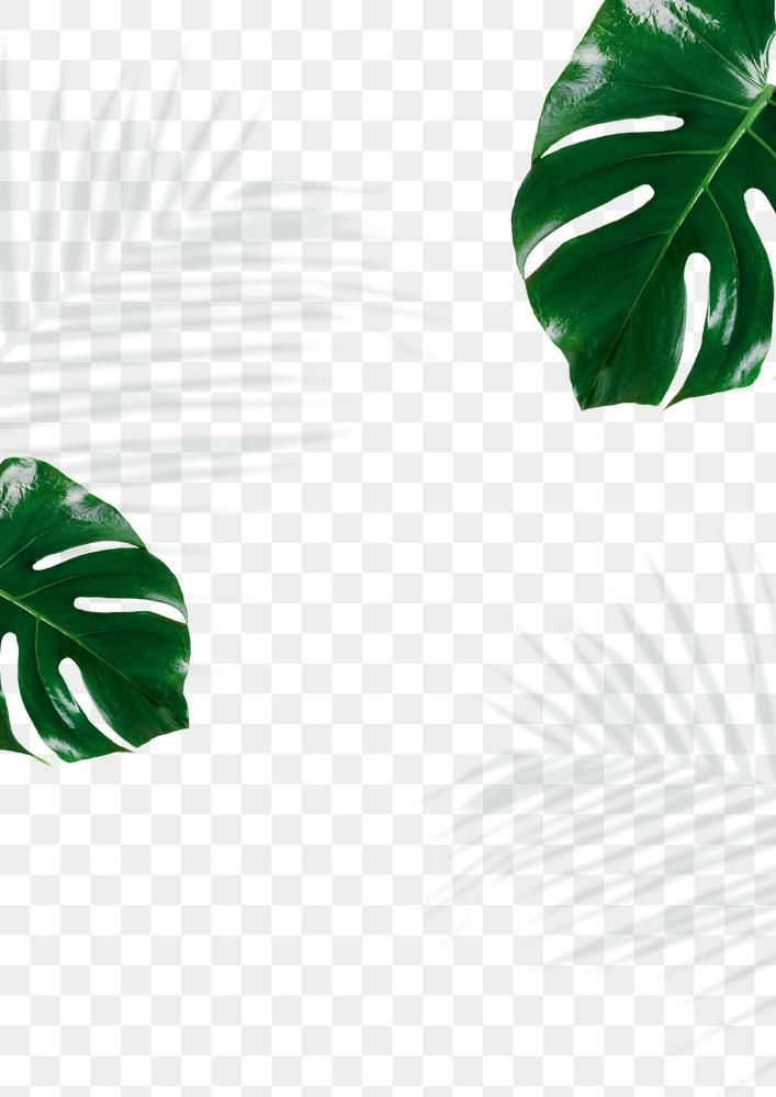 Monstera And Palm Leaves Shadow Png Free Image By Rawpixel Com Cuz Png Palm Leaves Leaves