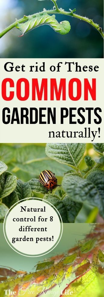 17 best ideas about garden pests on pinterest garden - How to get rid of bugs in garden ...