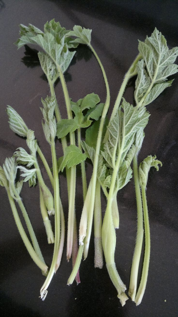 Common Hogweed. Ediblity and identification.