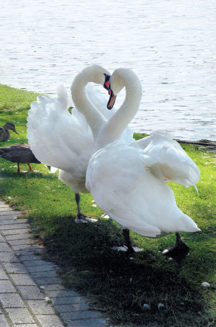 A Beautiful Swan Heart. Caption Corner - Swans :) http://pinterest.com/intlhomeshow/