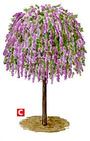 You can train a fountain butterfly bush as a standard, or single stem, so it looks like a small tree.