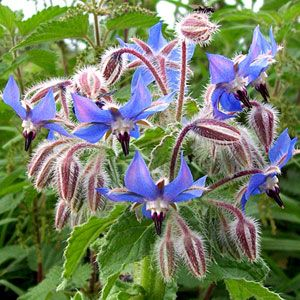 Honey bees love borage! Flowers are edible for humans and taste like cucumber. It provides high quality, nutritious BLUE pollen. The nutritional benefits of this pollen may help honey bees fight disease. Self seeding annual needing well drained soil.  Borage via Organic Magazine: The 11 Best Plants for Beneficial Borders