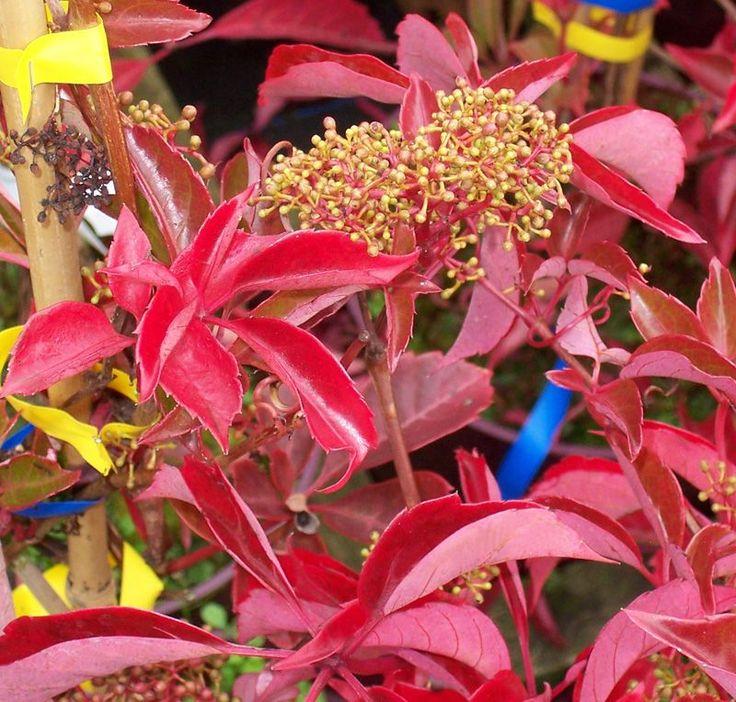 Buy Parthenocissus henryana online from Jacksons Nurseries