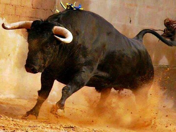Hermoso el toro de lidia: