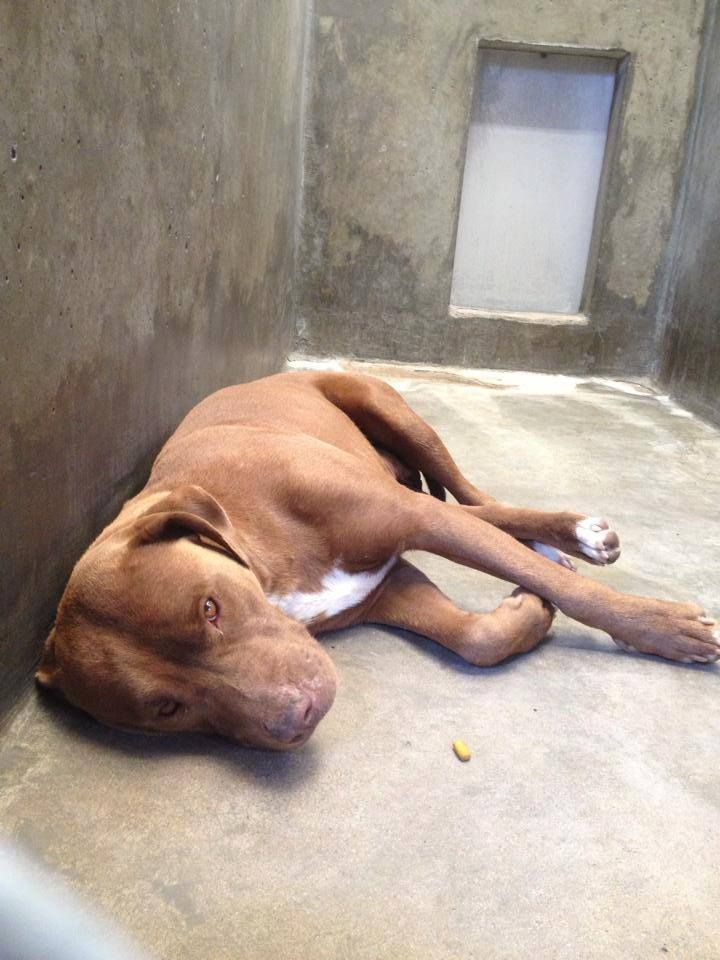 Staffordshire Terrier female looks pregnant  Kennel A35 $51 to adopt   Located at Odessa, Texas Animal Control. 432-368-3527