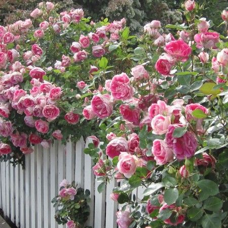 Carefree Wonder™ 'Carefree Wonder' lives up to its name. This easy to grow rose produces semi-double cupped blooms of china-pink with a creamy white reverse. A disease-resistant compact bush that blooms profusely. An American Award Winner 1991.