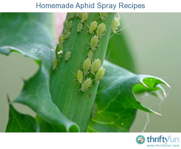 This page contains homemade aphid spray recipes.  Aphids thrive in temperate regions and feast on plants.  They are one of the most pesky and destructive pests that gardeners have to deal with.