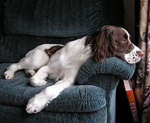 Springer Spaniel . . . . .what a life!