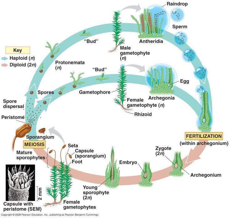 moss life cycle plant diversity i bryophytes and seedless vascular plants pinterest life. Black Bedroom Furniture Sets. Home Design Ideas