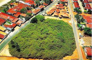 A maior árvore do mundo - Cajueiro - Revista Gente Nova Pirangi do Norte, Natal, Rio Grande do Norte