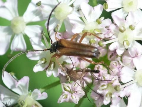Tobacco-coloured Longhorn Beetle | Nature Notes from Dorset