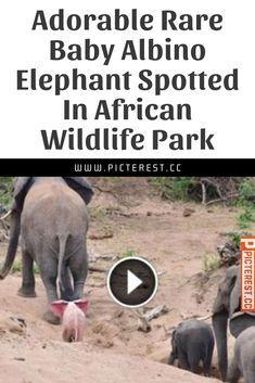 Entzückender seltener Baby-Albino-Elefant entdeckt im afrikanischen …   – Funny Cats Gifts