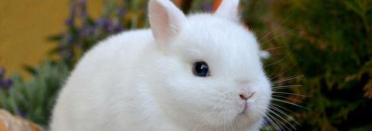 Coniglio nano ermellino, minidwarf rabbit