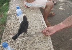 Crow Asks For Water