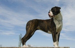 Boxer Breed Types |German, American and UK Boxer Dog