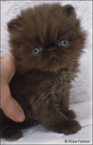 Chocolate Persian Kitten 5 weeks old - #persian - More Cat Breeds at Catsincare.com!