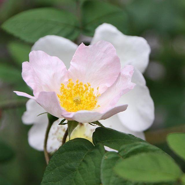 - Richardie - From Jette's garden #richardie #gardenvisits #roses #flowers #garden #gardening #jettefrölich #jettefroelich #danishdesign #gardendesign #have #blomster