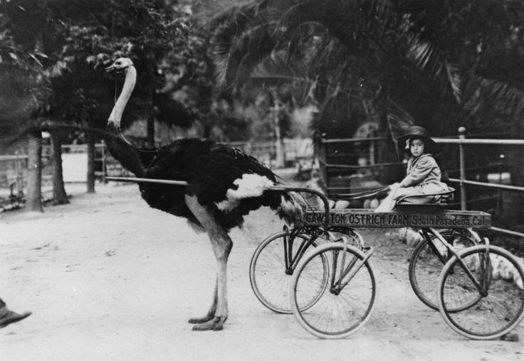 Cawston Ostrich Farm in South Pasadena, 1925.