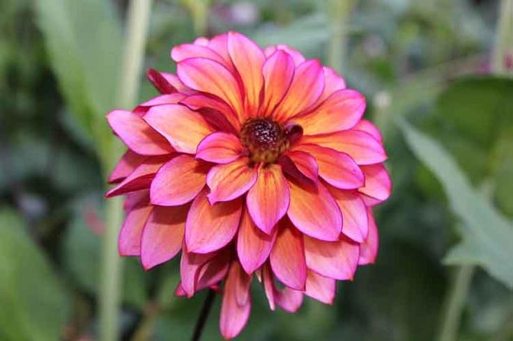 Dahlia, Pastel Florart, Pink,Lilla,gylden