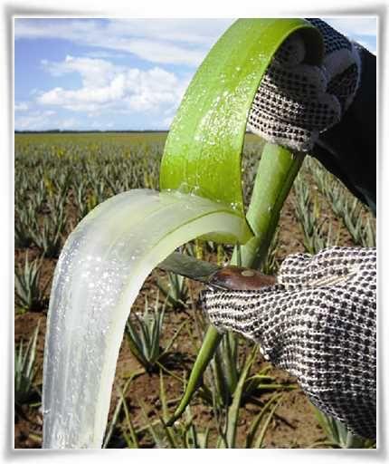 Νωπό Εσωτερικό Ζελέ από Φύλλο Φυτού Aloe #barbadensis Miller. #ForeverLivingProducts   #AloeVera