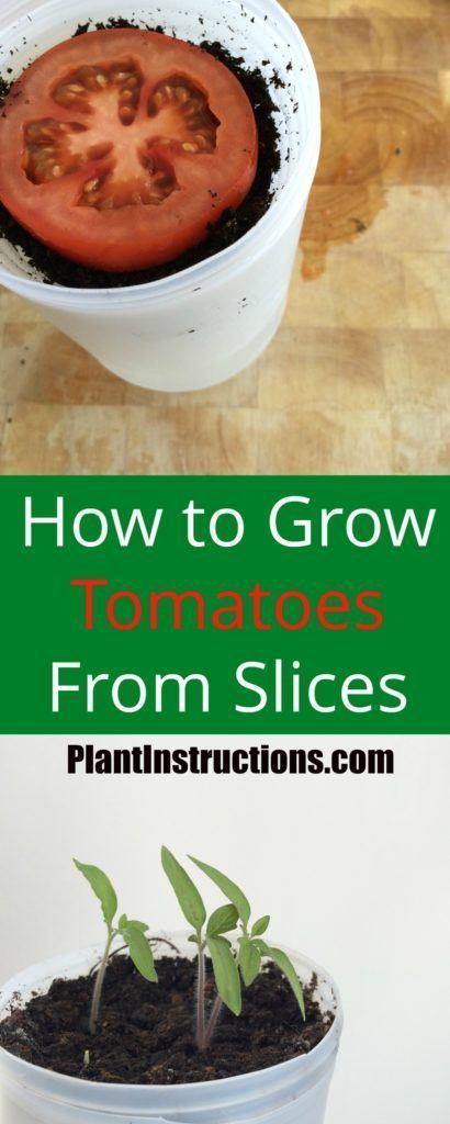 How to Grow Tomatoes From Slices | Plant Instructions