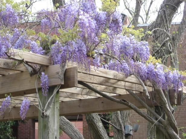 Grow American Wisteria (Wisteria frutescens) to fill your garden with gorgeous purple blooms. Get growing and care tips from HGTV Gardens.