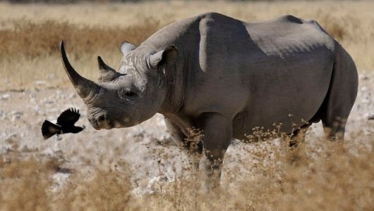Remember this creature with a moment of silence and recognize that other conservation efforts are not in vain. Offically considered extinct as of today, Nov. 19th 2013.