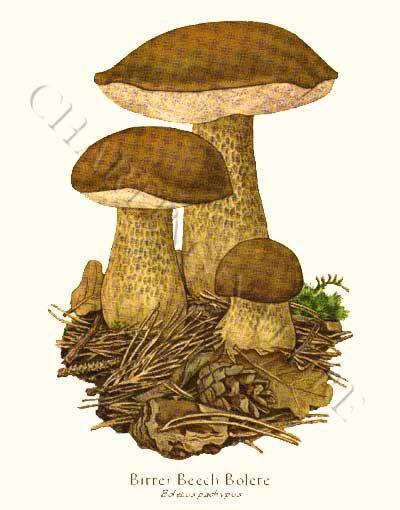 Bitter Beech Bolete mushroom art print 8x10 Print