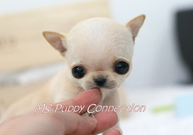 Google Image Result for http://www.cutepuppiesforsale.net/wp-content/uploads/2010/09/Teacup-Chihuahua-Puppies-For-Sale.gif