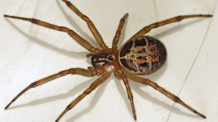 Descubren en Chile una araña altamente venenosa 'emparentada' con las viudas negras - RT