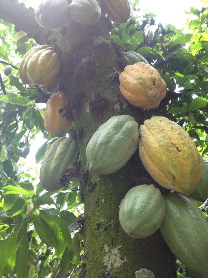 Inside the flesh around the bean tastes like a cross between banana, mangosteen and kiwi fruit I thought. Yumm!!