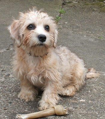 @Amanda Childress Dandie Dinmont Terrier. I want him he looks like a little mutt, he'd make a perfect Winchester.