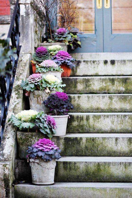 potted cabbage.... reallllly like this idea!!! I have always planted in the garden but I think this might be a better way to enjoy their beautiful colors in galvanized buckets and display in different locations, like just next to the front door for Thanksgiving....