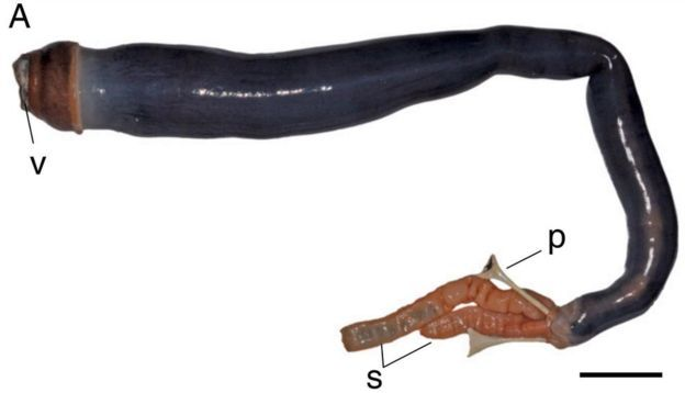 Picture of the Philippine giant shipworm, which grows up to three feet long.