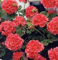 Geranium (education)   Bőségesen virágzik, ha a lakásban (ládákban, cserépben), a kertben napos helyen neveljük és rendszeresen tápoldatozzuk. Árnyékos helyen viszont nem érzi jól magát, megnyúlik, megszűnik a virágképződése.   A muskátli nem igényel különleges talajt. Kertben megfelel neki a komposztfölddel...