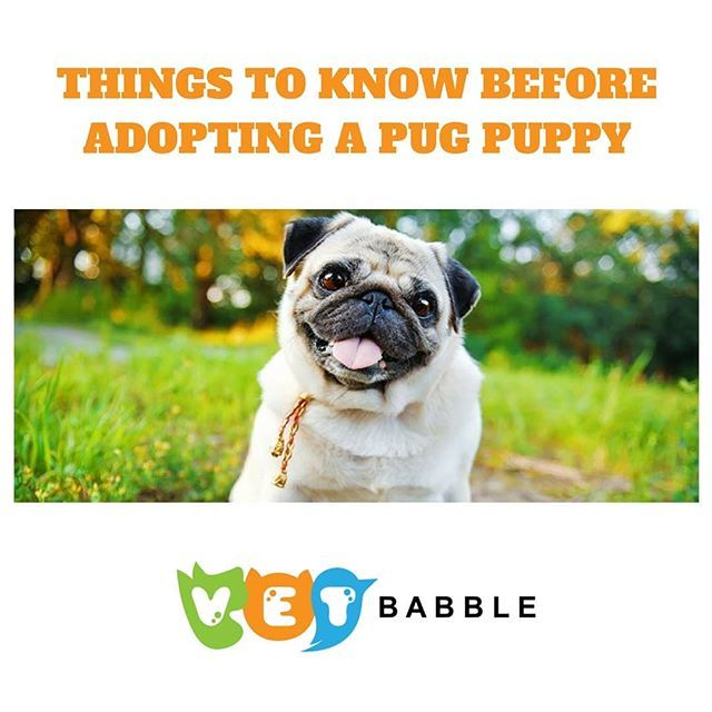 Pug Breed Info Photos And Care Guide Pugs For Adoption Pugs
