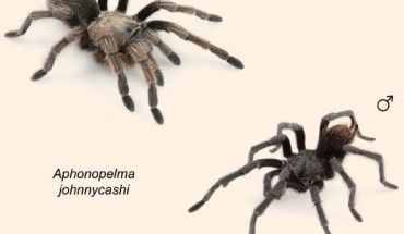 Aphonopelma johnnycashi: Newfound Tarantula Species Named after Johnny Cash