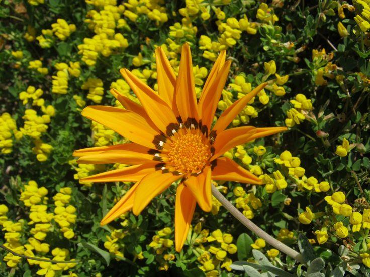 Flowers in Portobello di Gallura