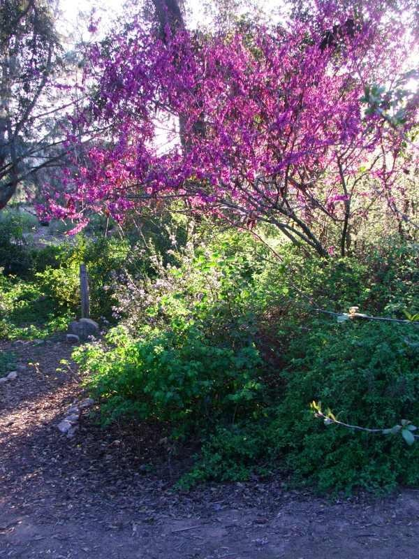 Western Redbud, California native, blooms Feb-Apr, full sun, deciduous, foliage is pretty in fall, edible fruit, attracts birds.