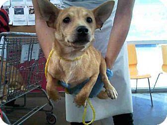 Dallas, TX - Cardigan Welsh Corgi Mix. Meet SAMMIE, a dog for adoption. http://www.adoptapet.com/pet/17070709-dallas-texas-cardigan-welsh-corgi-mix